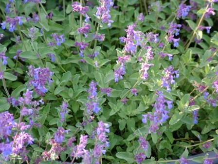 Cat Mint Herbaceous Herbs