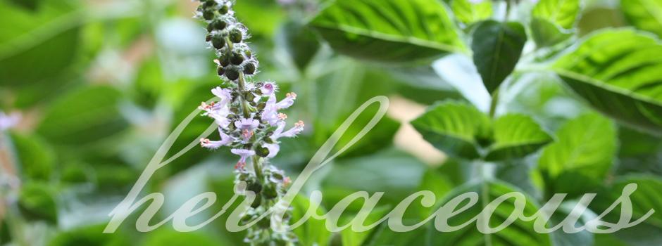 Herbaceous Herbs - Basil