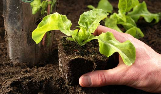 How to Grow Herbs - Planting Lettuce