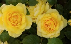Companion Planting for Roses