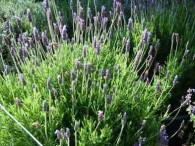 Lavender - Sweet