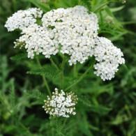 Yarrow white herbaceous herbs yarrow white mightylinksfo